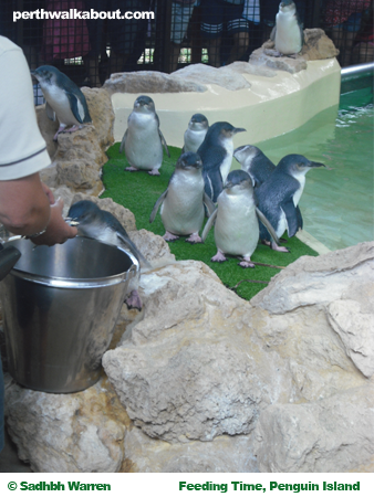 feeding-time-penguin-island