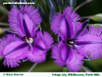 fringe-lily-wildflowers-perth-hills-t